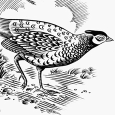 engraving style closeup of pheasant creeping out of cover
